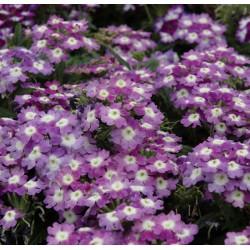 Werbena 'Samira Lavender with Eye'