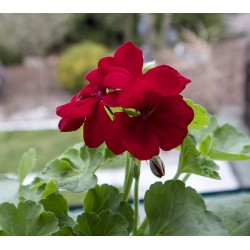 Pelargonia  Calliope® Bordo
