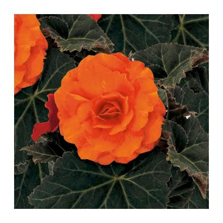 Begonia 'Nonstop Orange', duże sadzonki.