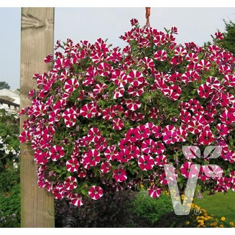 Surfinia 'Pegassus Special Burgundy Bicolor'
