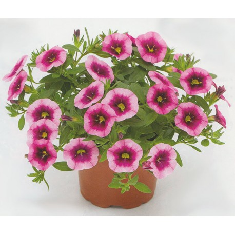 Million bells , calibrachoa , 'Eclipse Strawberry'