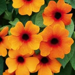 Thunbergia 'Susy Red-Orange'