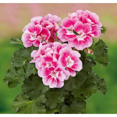 Pelargonia 'Dark Pinkberry'