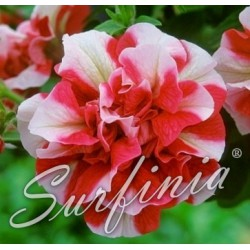 Surfinia 'Cherry Ripple'