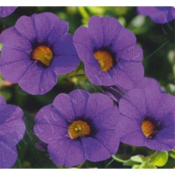 Million bells , calibrachoa , dark blu