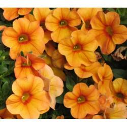 Calibrachoa 'Orange'