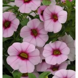 Calibrachoa 'Pink Morn'