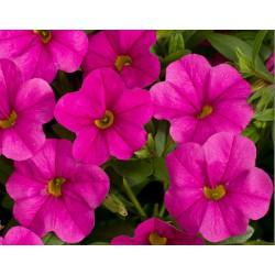 Calibrachoa 'Pink'