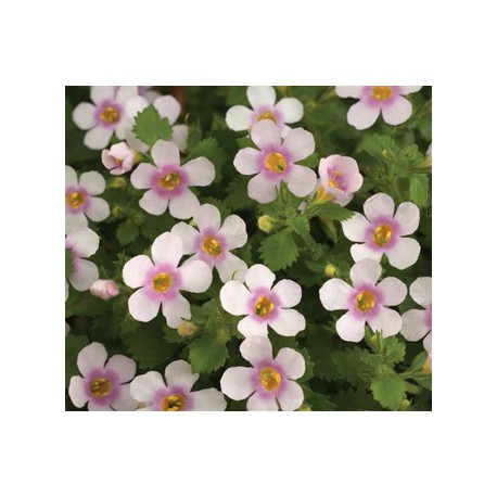 Bacopa giga rose