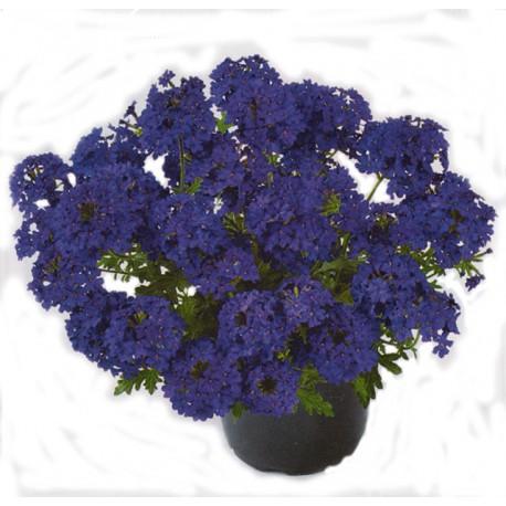 Werbena 'Deep Blue'