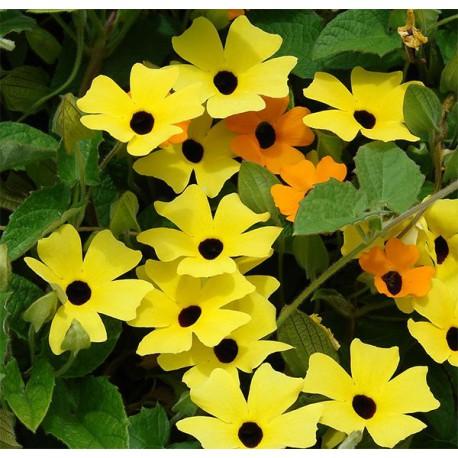 Thunbergia żółta