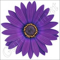 Osteospermum 'Blue'