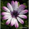 Osteospermum Zanzibar 'Rose Bicolor'