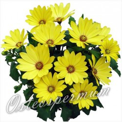 Osteospermum 'Yellow'