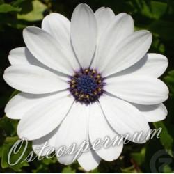 Osteospermum Zanzibar 'White'
