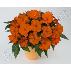 Niecierpek SunPatiens® 'Orange'