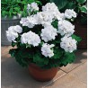 Pelargonia' Dark White'