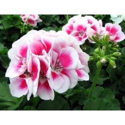 Pelargonia 'White Splash'