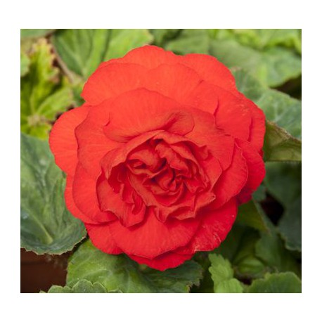 Begonia 'Nonstop Red'