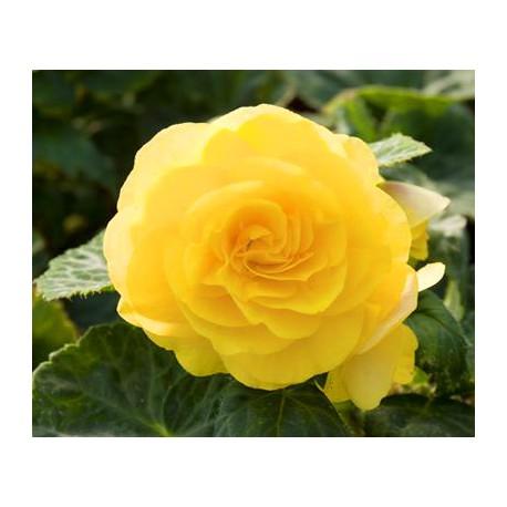 Begonia 'Nonstop Yellow'
