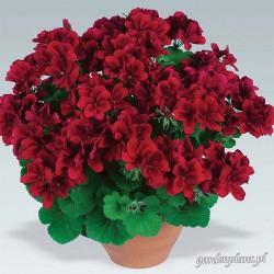 Pelargonia angielska 'Aristo Red'