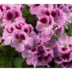 Pelargonia  'Aristo Orchid'