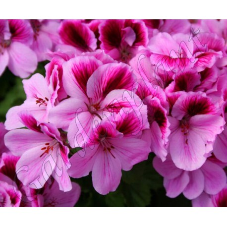 Pelargonia  'Aristo Pink'
