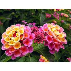 Lantana 'Rose'