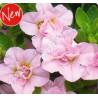 Calibrachoa 'Double Rose'