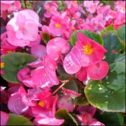 Begonia stale kwitnąca różowa