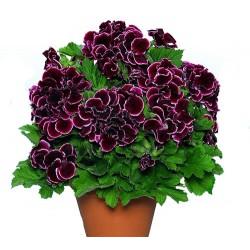 Pelargonia  'Aristo Beauty '
