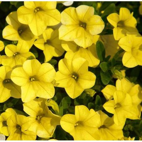 Million bells , calibrachoa , żółty