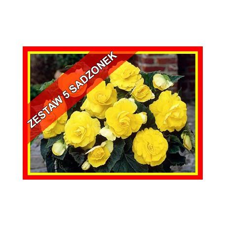 Zestaw begonii żółtych , 5 szt.