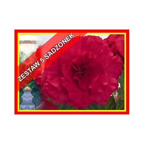Zestaw begonii różowych , 5 szt.