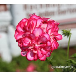 pelargonia zwisająca ,biało-różowa
