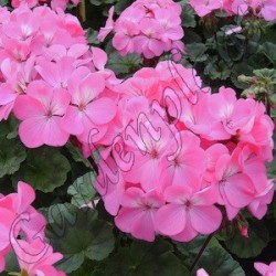 Pelargonia 'Dark Pink'