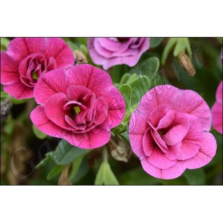 Calibrachoa 'Pink Double'