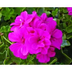 pelargonia pełnokwiatowa, purpurowa