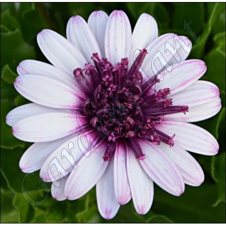 Osteospermum 'Deep Red'
