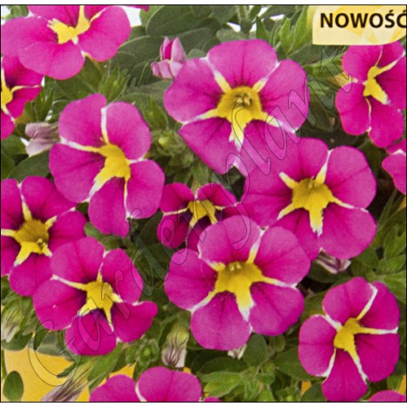 Million bells , calibrachoa , 'Pink Star'