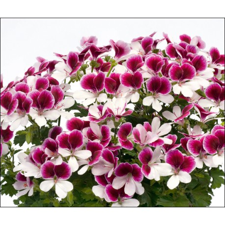 Pelargonia 'Angeleyes Bicolor'