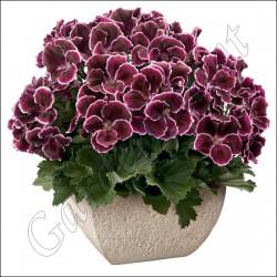 Pelargonia angielska 'Aristo Black Beauty'