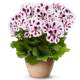 Pelargonia angielska 'Aristo Purple Stripes'