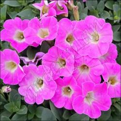 Surfinia 'Pegasus Pink'