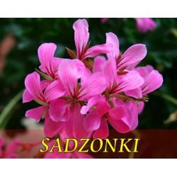pelargonia bluszczolistna lila-róż