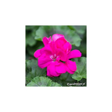 Pelargonia rabatowa ' Violet'