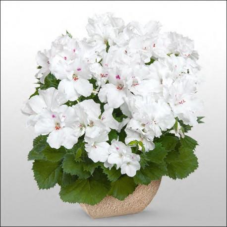 Pelargonia angielska 'Aristo Snow'