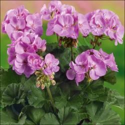 Pelargonia  'Dark Lavender'