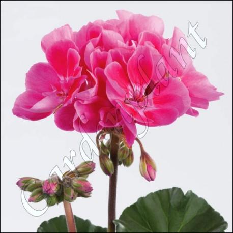 Pelargonia  'Dark Pink with Eye'