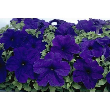 Surfinia 'Patio Purple'